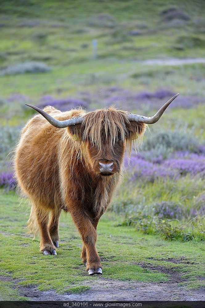 """Scottish Highland Cattle. When we lived in Warrenton, VA our neighbor had some.  I called them """"woollies""""."""