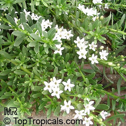 myoporum parvifolium - hill groundcover