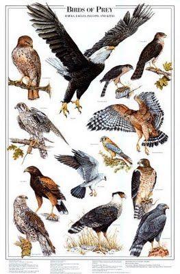raptors birds of prey characteristics | Birds of Prey