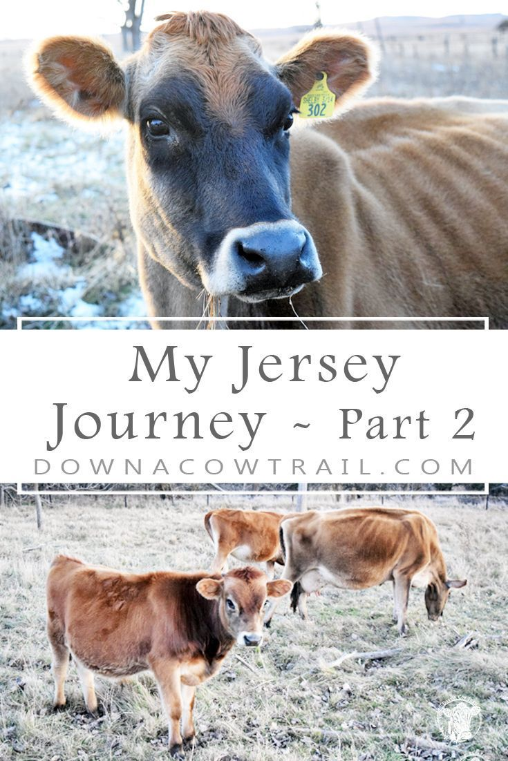 My Jersey Journey Part 2 Mabel The Cow In 2020 With Images Jersey Cow Milk Cow Newborn Kittens