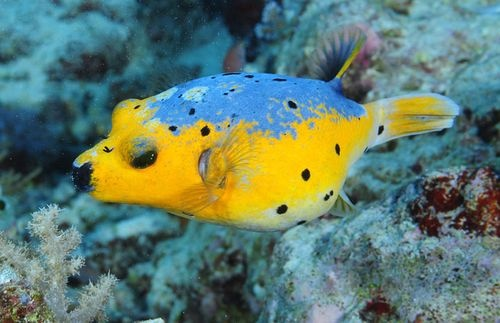 Golden dogfish puffer | Saltwater | Pinterest