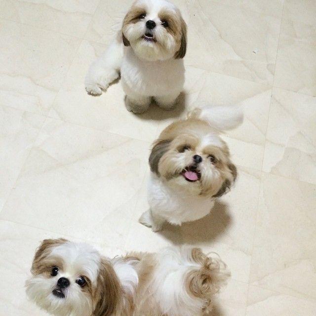 Shih Tzu .., group photo