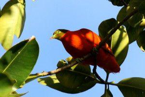 """Antioxidantien schützen nicht nur vor den gefährlichen freien Radikalen sondern sind auch mitverantwortlich für das Farbenreichtum der Natur.  Auf diesem Foto seht ihr die wunderhübsche Flammfarbene Taube aus Umberto Ecos """"Die Insel des vorigen Tages""""  Hier erfahrt ihr mehr: http://vegankitchenlab.de/freie-radikale-bunte-antioxidantien-und-ranziges-oel/     (Vielen Dank an Tom Tarrant von www.aviceda.org für die Bereitstellung des Fotos!)"""