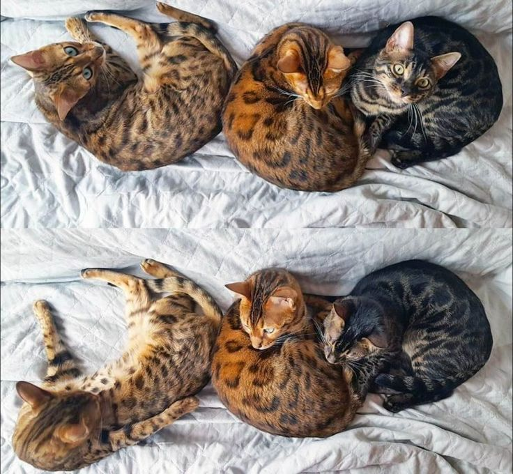 A Visual Guide to Bengal Cat Colors & Patterns in 2020