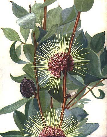 illustration: Hakea petiolaris artist: Edgar Dell (1901- 2008)