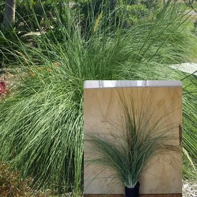 Chrysopogon Elongatus Tall tamil grass, NT native grass, extremely hardy, fast growing and drought tolerant once established. Produces a tall feathery seed head, makes a great feature grass in any NT garden.