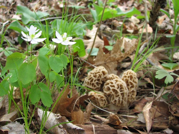 Anemone And Morels