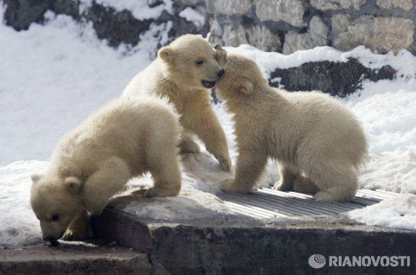 Фото: Белые медвежата в Московском зоопарке (март, 2012) - http://zoovestnik.ru/russia/moscow/