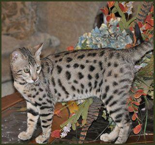 Bengal cat f1 f2 f3 f4