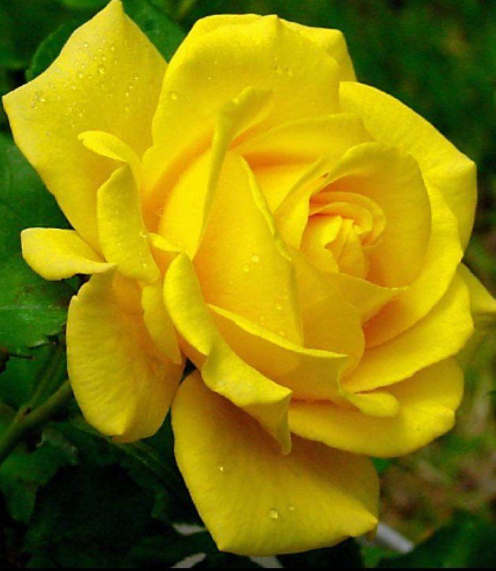 Wallpaper Of Yellow Rose: Lovelies By Yvonne Whittington