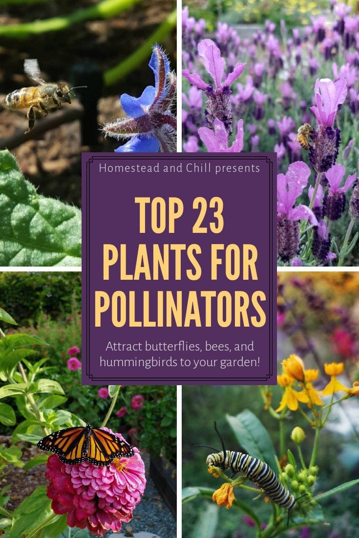 Top 23 Plants For Pollinators Attract Bees Butterflies Hummingbirds Homestead And Chill Pollinator Garden Design Pollinator Garden Pollinator Plants