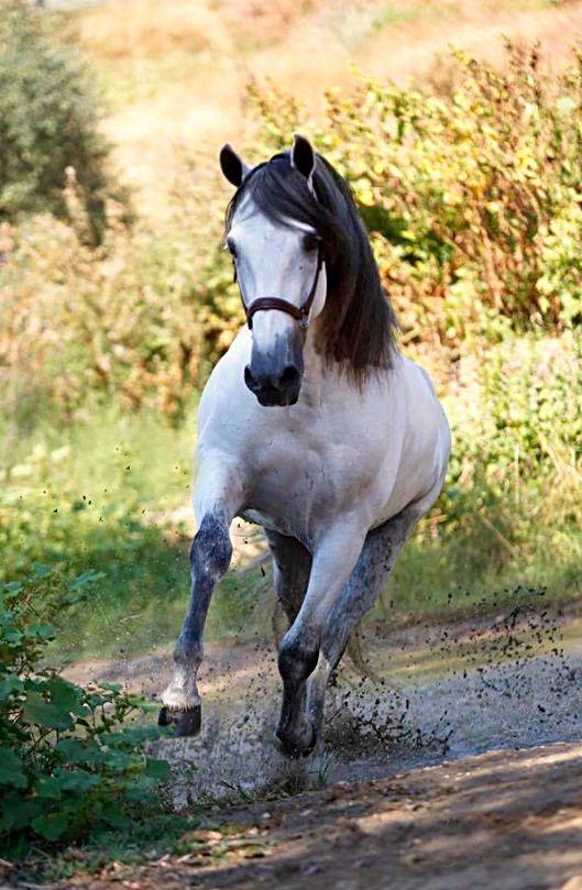 Pura Raza Española stallion.
