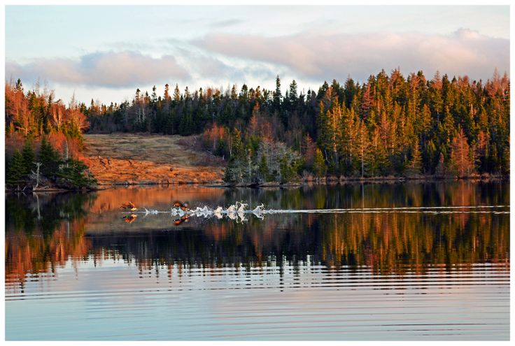 Geese taking flight on Ben's Pond, Red Point, Cape Breton Island.
