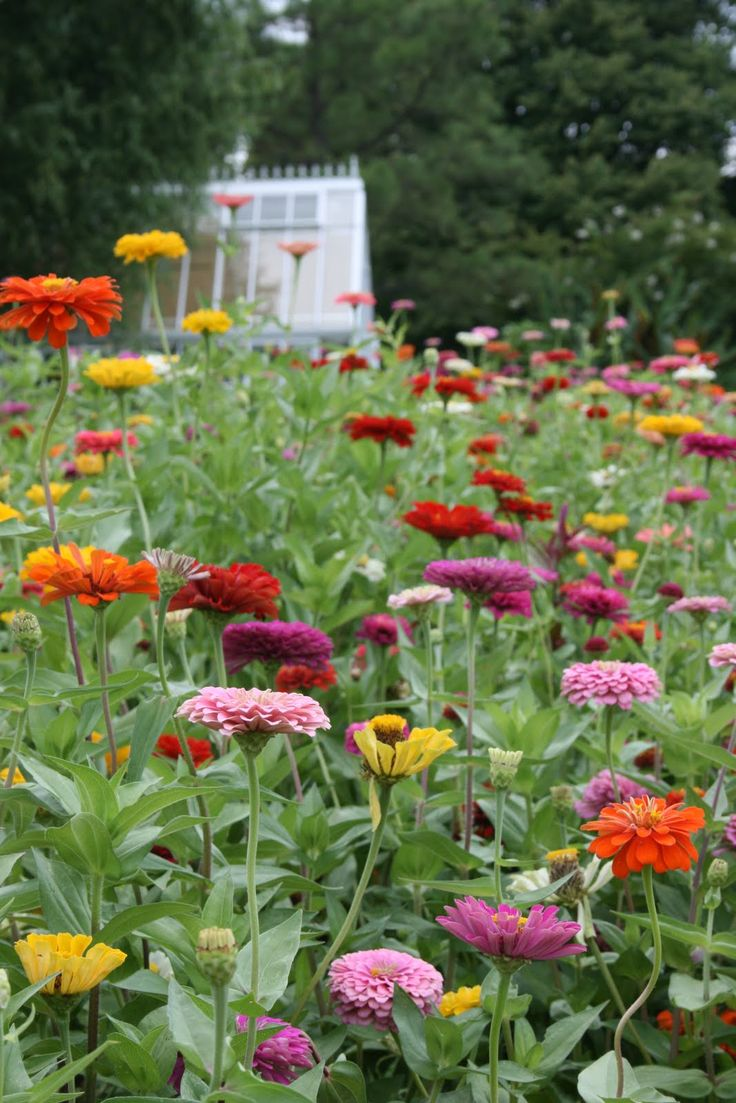 17 Best Images About Zinnias On Pinterest Gardens 400 x 300