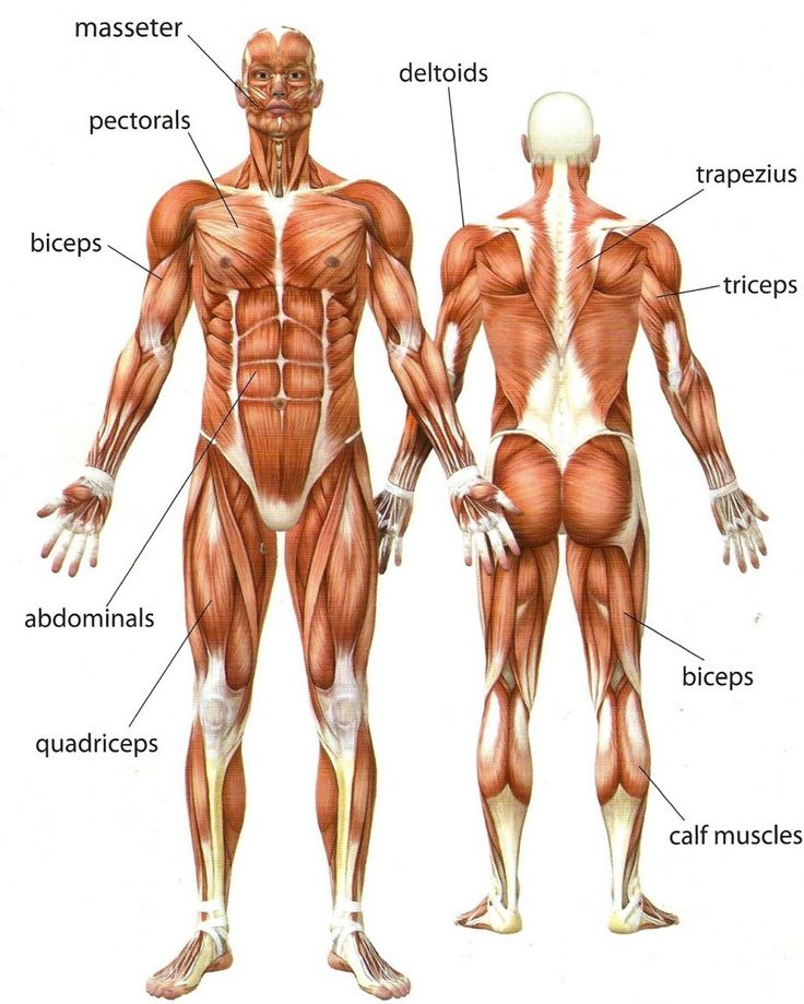 muscles names for anatomy | tutorial/reference | pinterest, Muscles