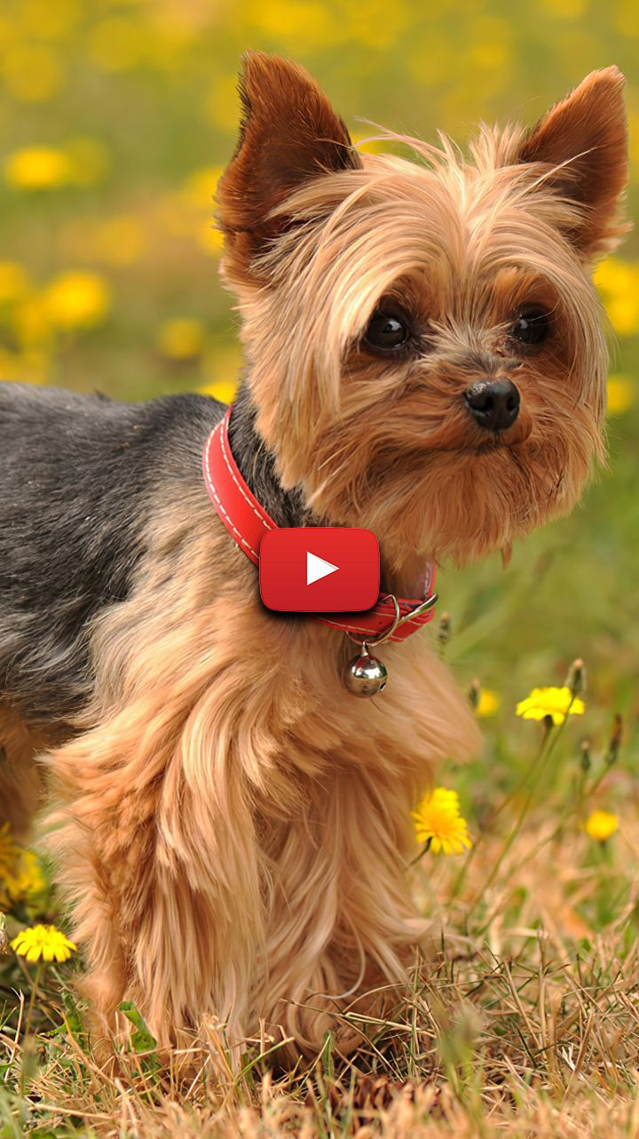 Yorkshire Terrier Wallpaper Cute Puppies Yorkie Wallpaper So Cute Yorkshire Terrier Hairs Yorkshire Terrier Yorkshire Terrier Dog Yorkshire Terrier Puppies