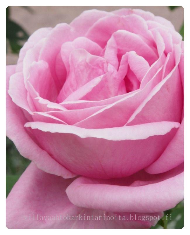 `Rosa Liparfum violett'