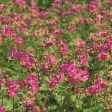 2 Ooievaarsbek (Geranium macrorrhizum 'Bevan's Variety')-directplant