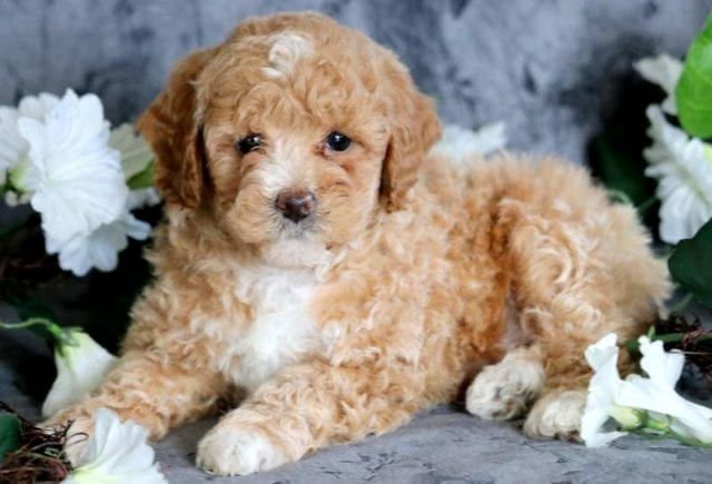 Toy Poodle Puppies For Sale Puppy Adoption Keystone Puppies Poodle Puppy Poodle Puppies For Sale Toy Puppies For Sale