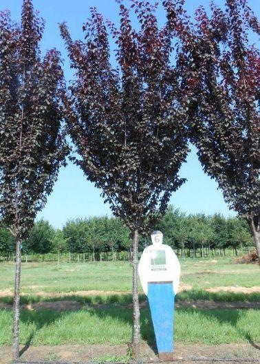 Pcp Prunus Cerasifera Cripoizam Crimson Pointe