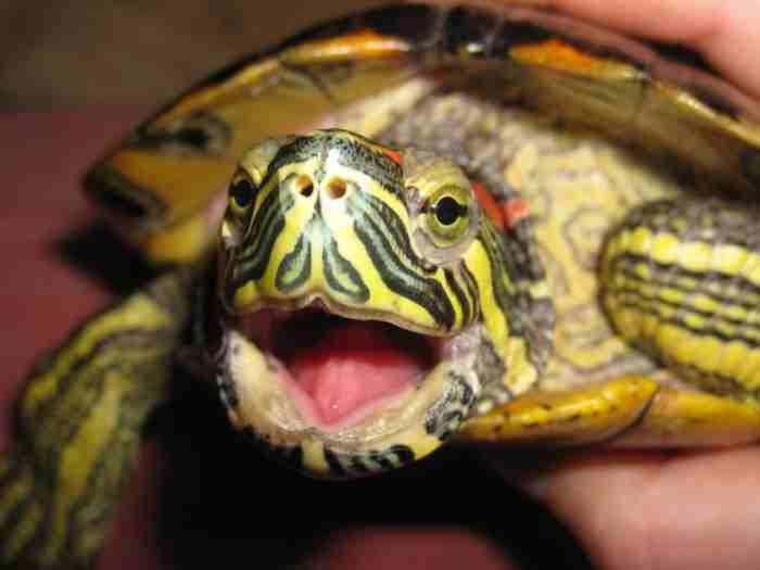 Уход и содержание красноухих черепах