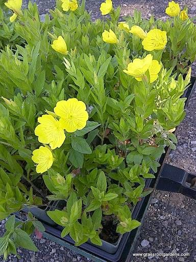 Yellow Evening Primrose Flowers Perennials - Check out the free plant identification mobile app at GardenAnswers.com