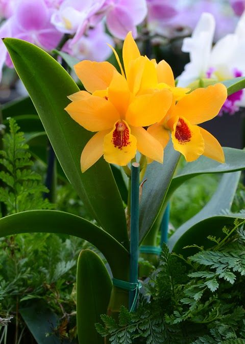 The orchid column cattleya hybrids flowers pinterest gardens flower and the orchid