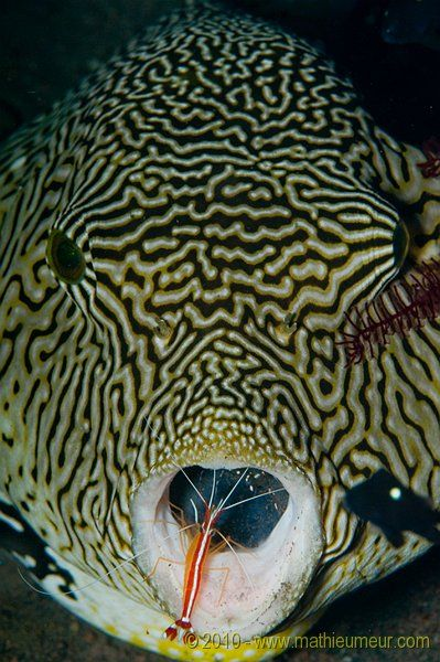Star pufferfish and cleaner shrimp. Notice the shrimp in this fishes' mouth. There are small fish and shrimp that live off of eating parasites and such off of larger fish. There are photos out there of them cleaning diver's teeth!