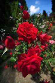 Olej z lupienkov ruží pre suchú pokožku