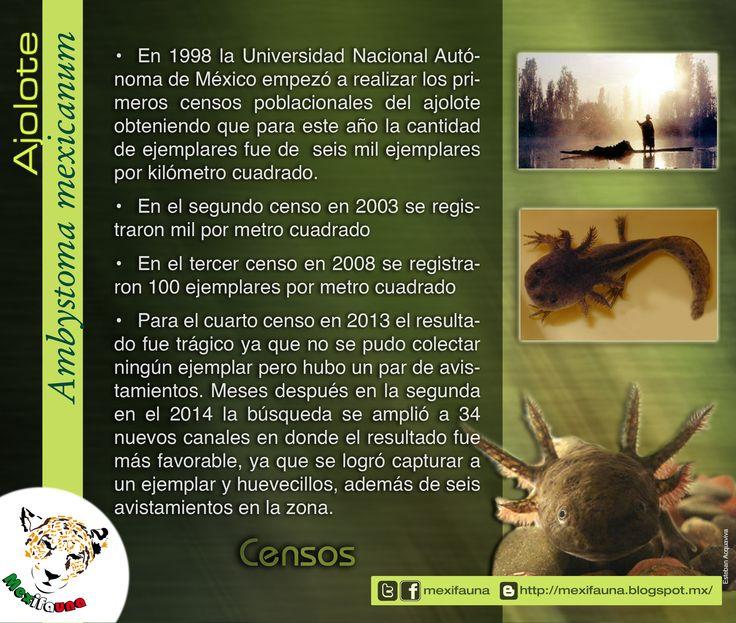Ajolote (Ambystoma mexicanum): CESOS MAYOR INFORMACIÓN: http://mexifauna.blogspot.mx/2014/08/ajolote-ambystoma-mexicanum.html