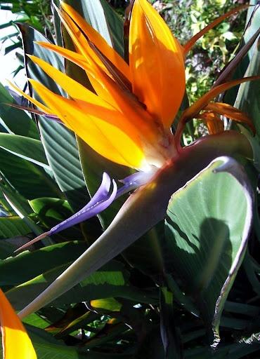 Bird of Paradise (Crane Flowers) – joyfulness, paradise, 9th wedding anniversary, magnificence