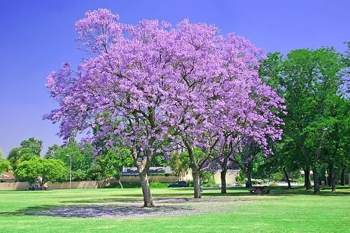Front yard tree:  Jacaranda mimosifolia - Jacaranda Tree. I adore these tall profuse blooming trees with fern like leaves.