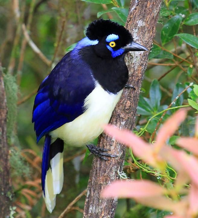 Plush-crested Jay (Cyanocorax chrysops). Jays are several species of medium-sized, usually colorful and noisy, passerine birds in the crow family Corvidae. The names jay and magpie are somewhat interchangeable, and the evolutionary relationships are rather complex. For example, the Eurasian Magpie seems more closely related to the Eurasian Jay than to the Oriental Blue and Green Magpies, whereas the Blue Jay is not closely related to either.