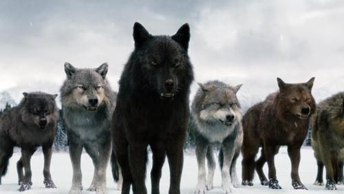 jacob and the pack as wolves | ... any of the wolf pack in twilight :) - Taylor Lautner Answers - Fanpop