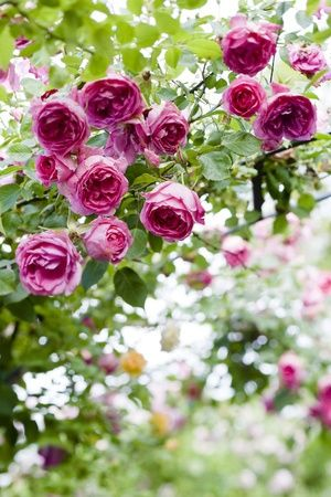Parade rose: Beautiful Flower, Pink Flower, Container Gardens, Climbing Rose, Rose Gardens Design, Flower Ideas, Pink Rose, English Rose, Vintage Rose