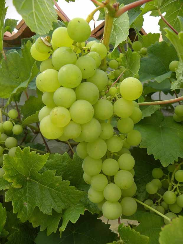 Vigne chasselas Cioutat