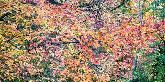 Koop 'autum leaves' van Hanneke Luit voor aan de muur. De prachtige kleuren van een esdoorn moest ik wel even fotograferen