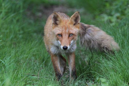 暫くの後餌を与え終わると親キツネがこちらに近づいてきた。じっと鋭い目線で僕を覗っている。  ファインダーの中でにらめっこ状態になり、明らかに何かを訴えているようである。