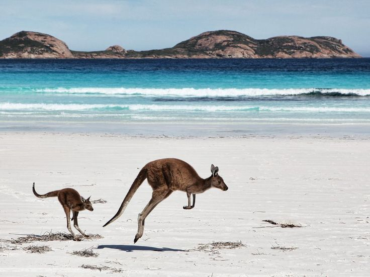 Photograph by Gordon Fellows.   Mother kangaroo and her joey on the beach at Cape Le Grande, Esperance, Western Australia