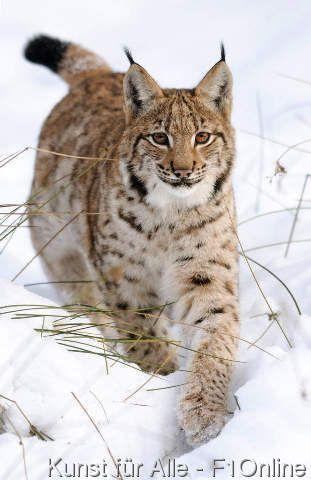 Foto-Kunstdruck Karpatenluchs (Lynx lynx carpathicus) im Schnee, Nationalpark Bayerischer Wald, Deutschland von David & Micha Sheldon (F1 Online) auf Glossy normal
