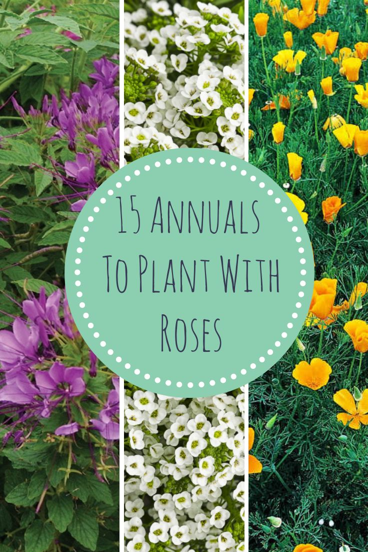 15 Annuals That Grow Well With Roses --> http://www.hgtvgardens.com/annuals/15-annuals-that-grow-great-with-roses?soc=pinterest