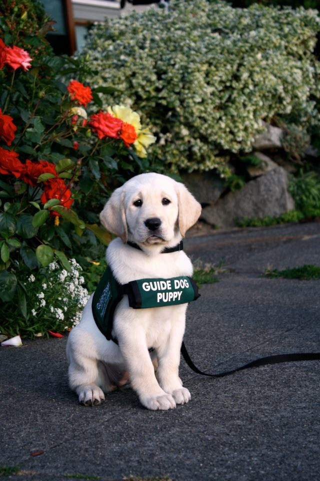 Guide puppy in training, this hero will be a great help and friend to someone when he's grown up!