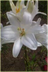 Lilia biała, lilia Świętego Józefa, biały Lilium candidum