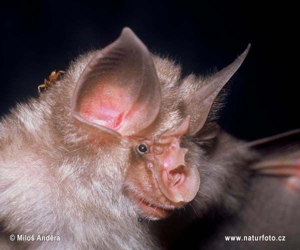 bat mammal photos   Mediterranean Horseshoe Bat ( Rhinolophus euryale )