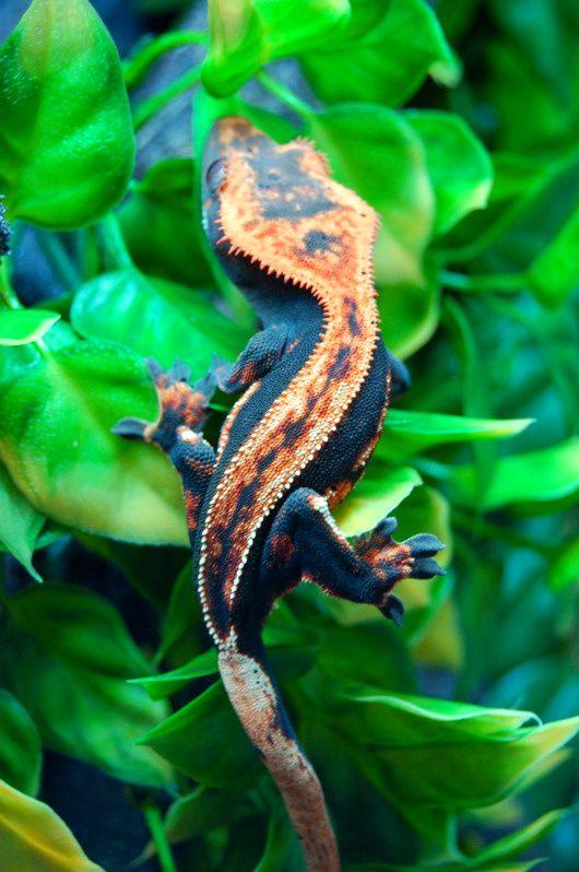 Pumpkin, a Halloween Crested Gecko