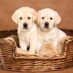 Labrador breeders: how to find a good one.