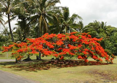 Delonix regia - Royal Poinciana, Flamboyant, Flame Tree