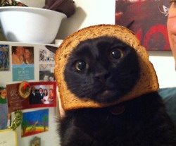 Omg why is this so funny??: Inbread Cat, Breading Cats, Giggle, Animals, Cat Breading, Funny Stuff, Breaded Cats