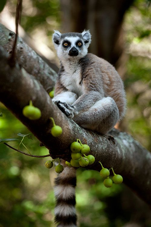 lemurs of madagascar Rampant corruption in madagascar sees forests ripped down and lemurs threatened with extinction.