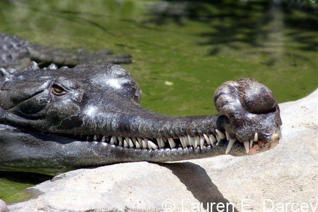Crocodile vs alligator vs caiman vs gharial - photo#3